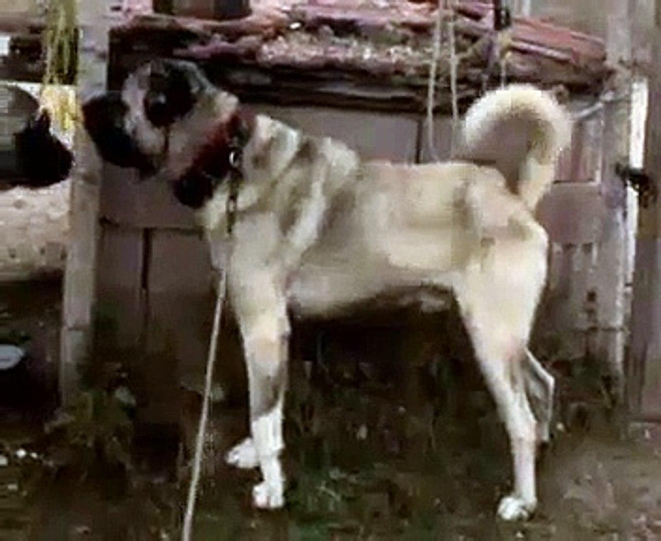 KOCA KOCA DEVLER KUCUK ATISMA - GiANT ANATOLiAN SHEPHERD DOGS VS