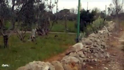 Puglia: presunta pantera avvistata a Matino (Lecce)