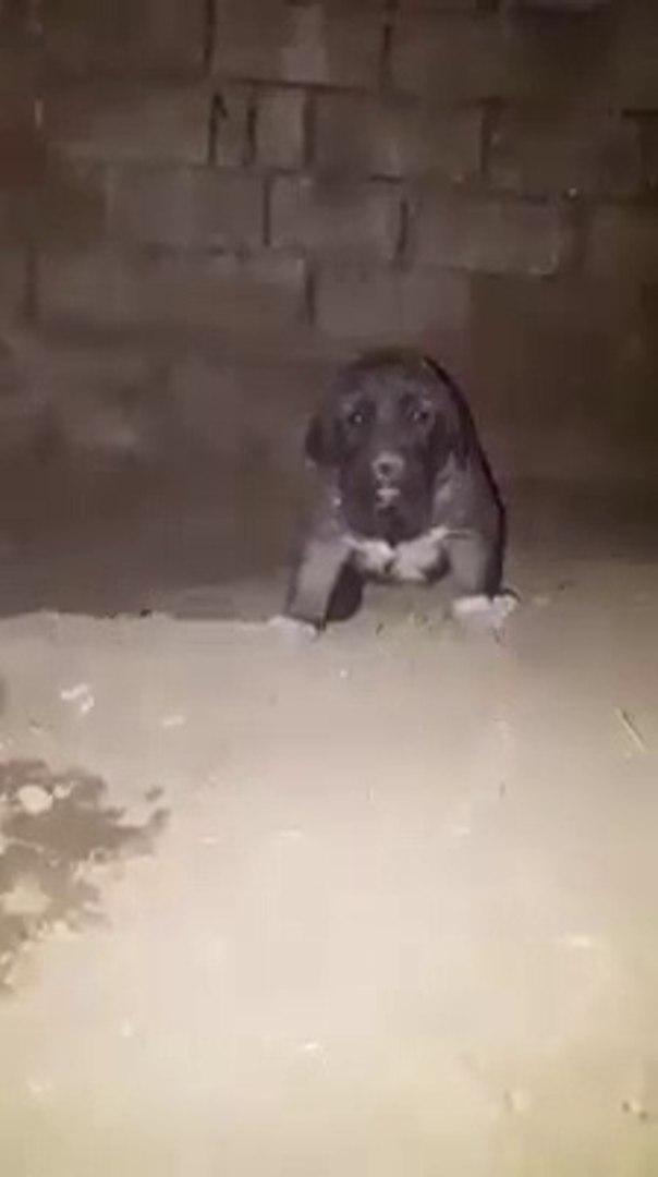 DUNYAYA  GOZLERiNi YENi ACMIS COBAN KOPEGi YAVRUSU - SHEPHERD DOG PUPPY