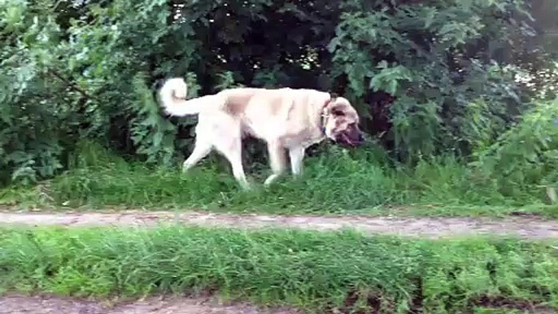 DEV COBAN KOPEGi ve SAHiBi YURUYUS - GiANT SHEPHERD DOG with WALK