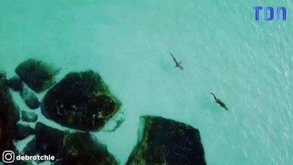 Un requin filmé en train de poursuivre un crocodile