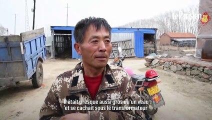 Chine : un tigre de Sibérie capturé après avoir attaqué des villageois