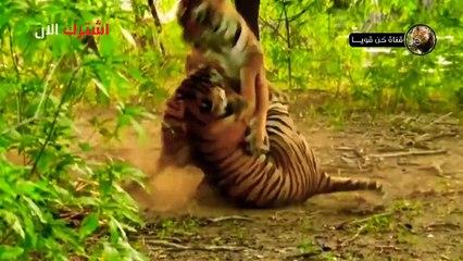 هذا هو النمر الشرس ملك الوحوش !!! إنظروا ماذا فعل بالخنزير؟!!