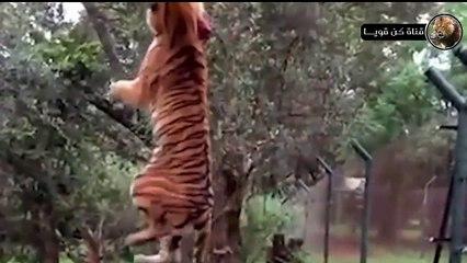 هكذا تحصل النمور علي الطعام مشهد سيصيبك بالدهشة  عالم الحيوانات المفترسة