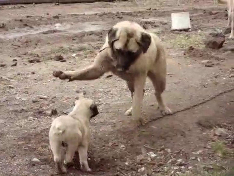 GENC ve YAVRU COBAN KOPEGiNiN SEViMLi HALLERi - YOUNG and PUPPY SEHPHERD DOG