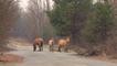 Wildpferde vermehren sich in Tschernobyl