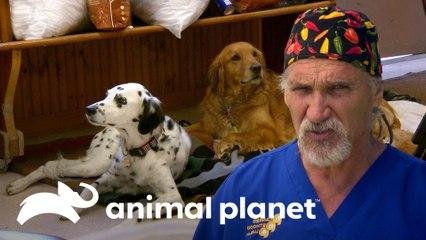 Doutor Jeff esteriliza 150 animais em mutirão | Veterinário das Montanhas | Animal Planet Brasil