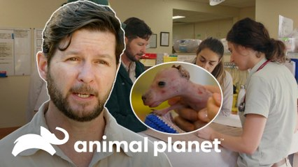 Resgate de um bebê wallaby abandonado | A Família Irwin: Robert ao resgate | Animal Planet Brasil