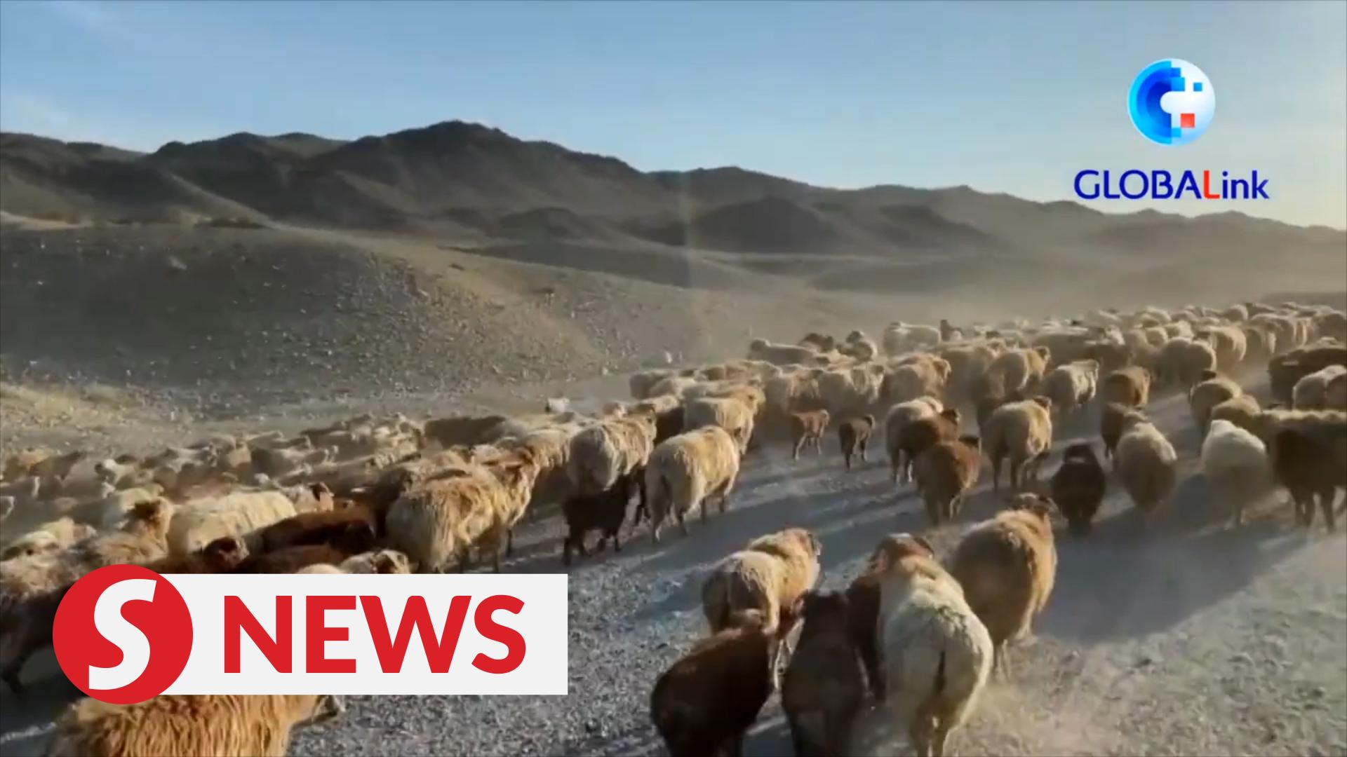Xinjiang herders begin transferring livestock to spring pastures