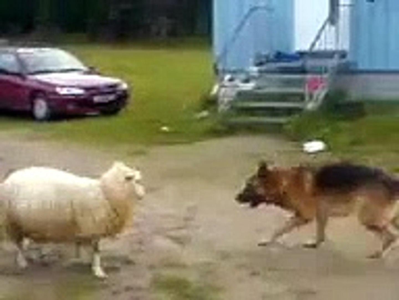 KOMiK ALMAN KURDU VS KOYUN - FUNNY GERMAN SHEPHERD VS SHEEP