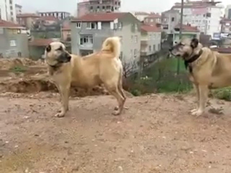 BiR DiSi BiR KANGAL KOPEKLERi - FAMELA and MALE KANGAL SHEPHERD DOGS