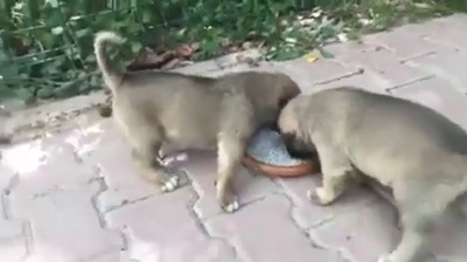 ANADOLU ASLAN YAVRULARI COK ACIKMIS - SHEPHERD DOG PUPPiES and DOG FOOD