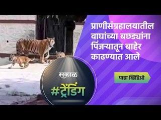 प्राणीसंग्रहालयातील वाघांच्या बछड्यांना पिंजऱ्यातून बाहेर काढण्यात आले | Aurangabad | Sakal Media |