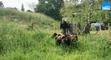 Bergerac : des moutons pour entretenir les berges de la Dordogne