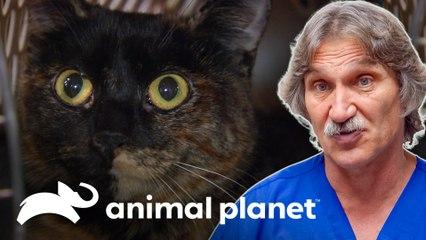 Gata chega ao consultório com fratura no fêmur | Veterinário das Montanhas | Animal Planet Brasil