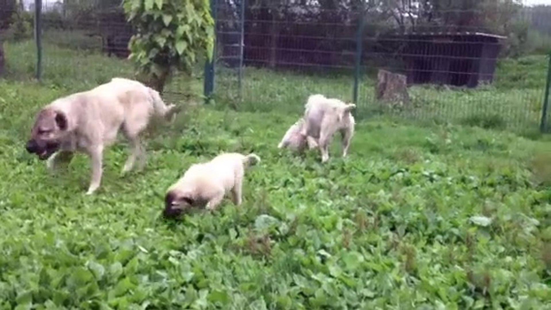 KANGAL COBAN KOPEGi YAVRULARI YEMYESiL BAHCEDE - KANGAL SHEPHERD DOG PUPPiES