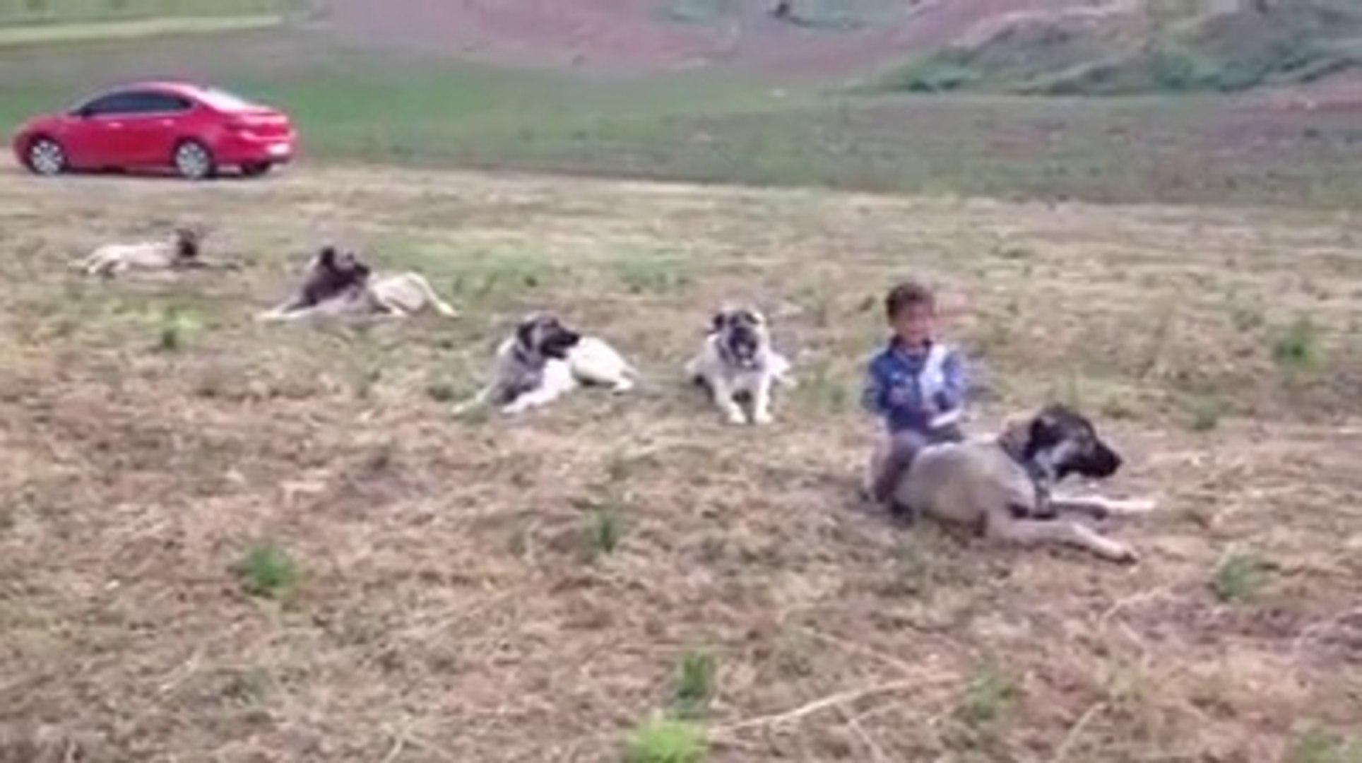 KANGAL KOPEKLERi ARASINDA KUCUK BiR YiGiT - KANGAL DOGS and CHiLD