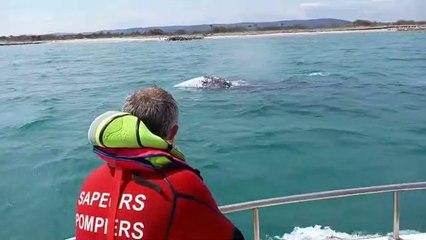 Une baleine grise perdue en méditerranée longe la côte à Palavas