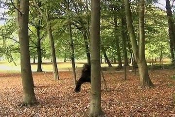 Gorilla in the park comedy