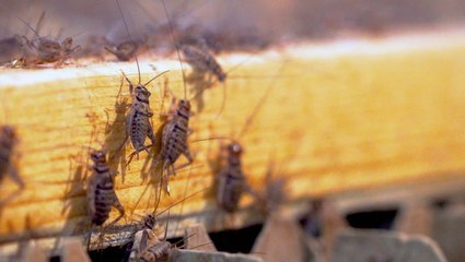 How 50 million crickets are harvested a week to become food