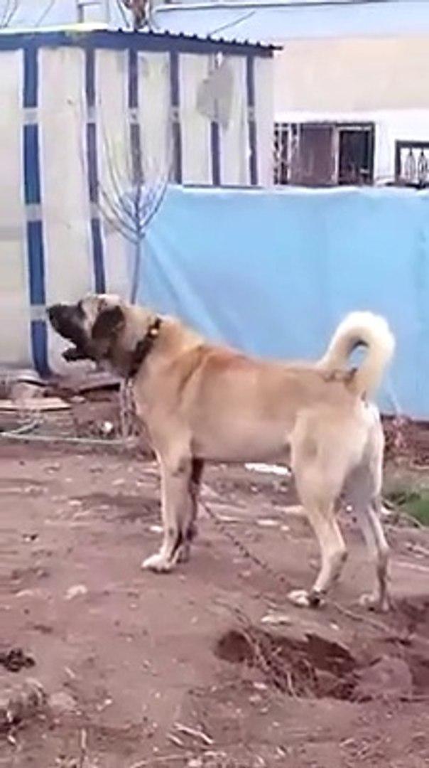 DEV ADAMCI COBAN KOPEGi ATARLANIYOR - GiANT SHEPHERD DOG in GARDEN