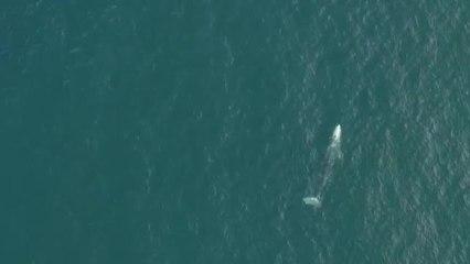 Wally: la ballena gris perdida en el Meditérraneo, que busca cómo volver a California