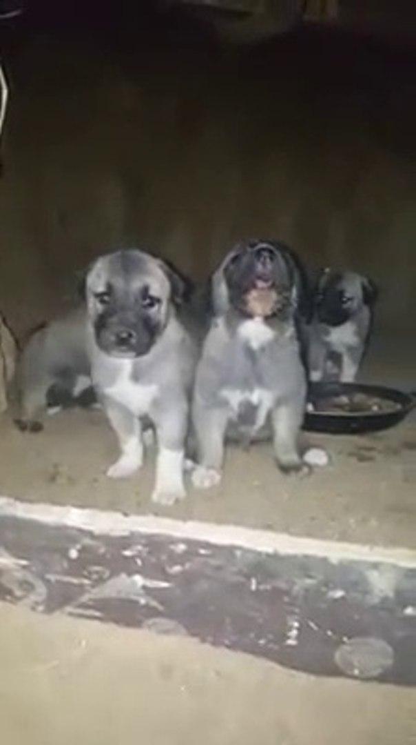 KURTCU OLACAGI BELLi KANGAL YAVRULARI - KANGAL SHEPHERD DOG PUPPiES