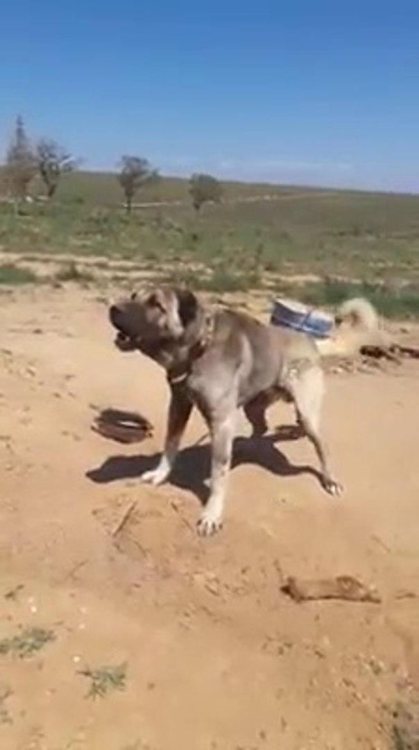 KARA KIRCIL TIR SESLi MUBAREK - ANATOLiAN SHEPHERD DOG