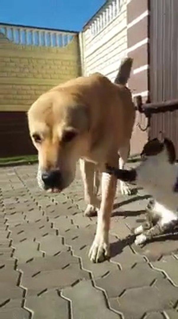 KEDiNiN ALABAY SEVGiSi - ALABAY SHEPHERD DOG vs CAT