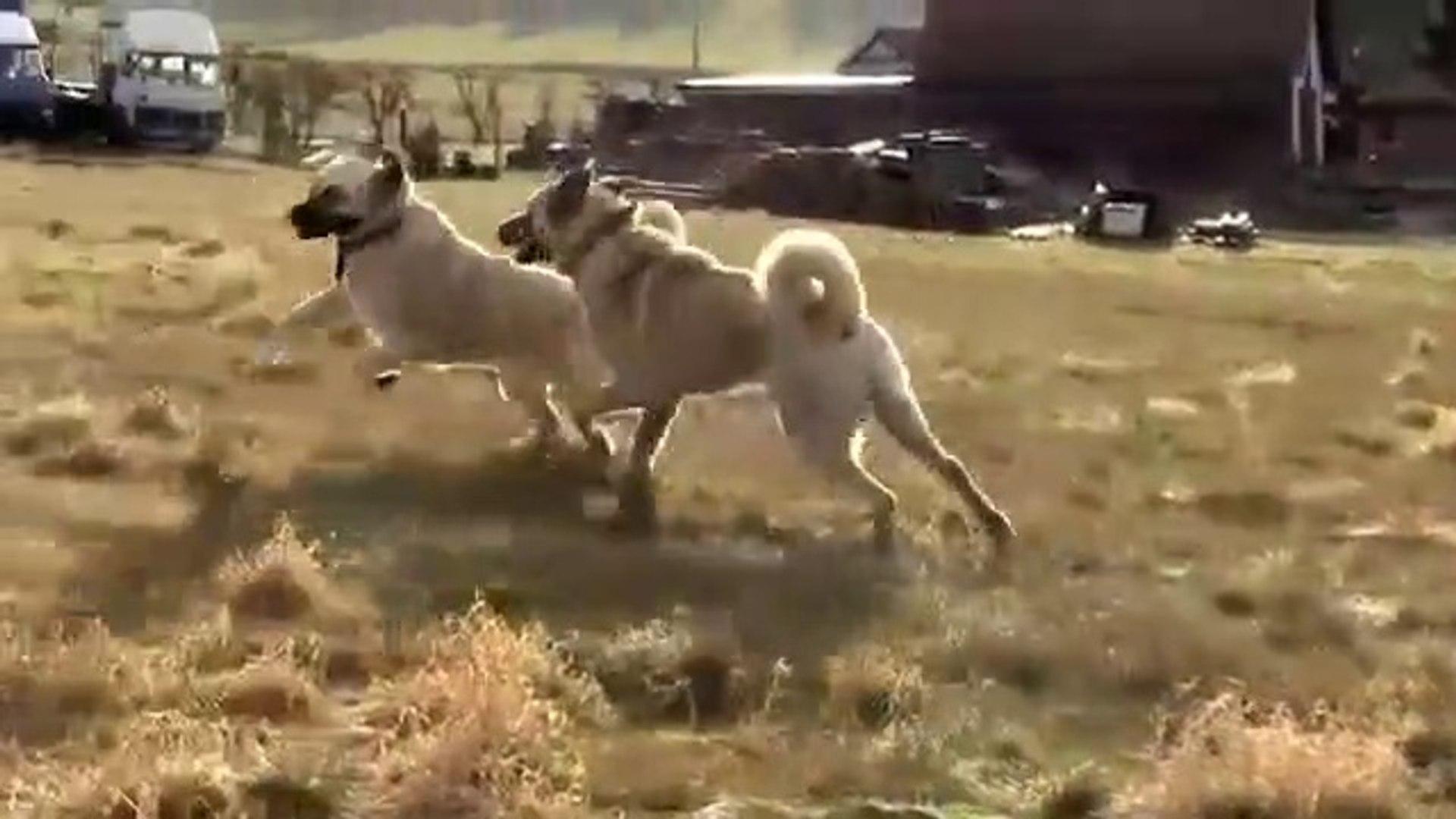 KANGAL KOPEKLERi ve KUCUK ARKADASLARI - KANGAL SHEPHERD DOG and LiTTLE FRiENDS