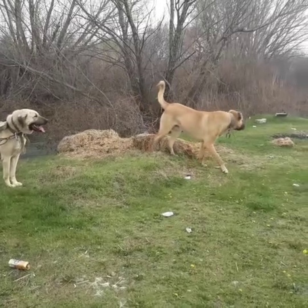 ANADOLU COBAN KOPEKLERiYLE GEZiNTiDE - ANATOLiAN SHEPHERD DOGS with WALK