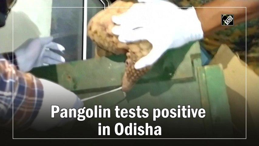 Pangolin tests Covid-19 positive in Odisha