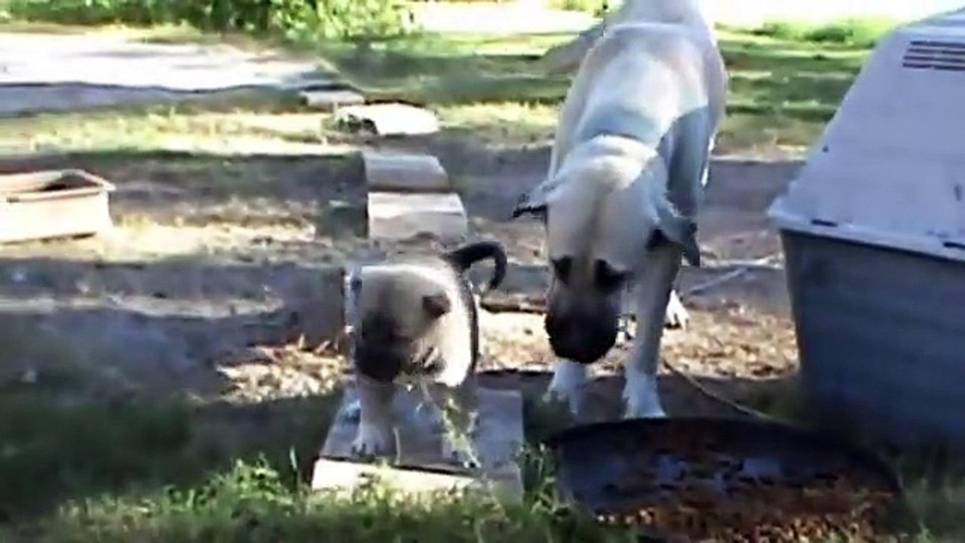 COBAN KOPEGi YAVRULARI ve ANNESi - SHEPHERD DOG PUPPiES and MOM