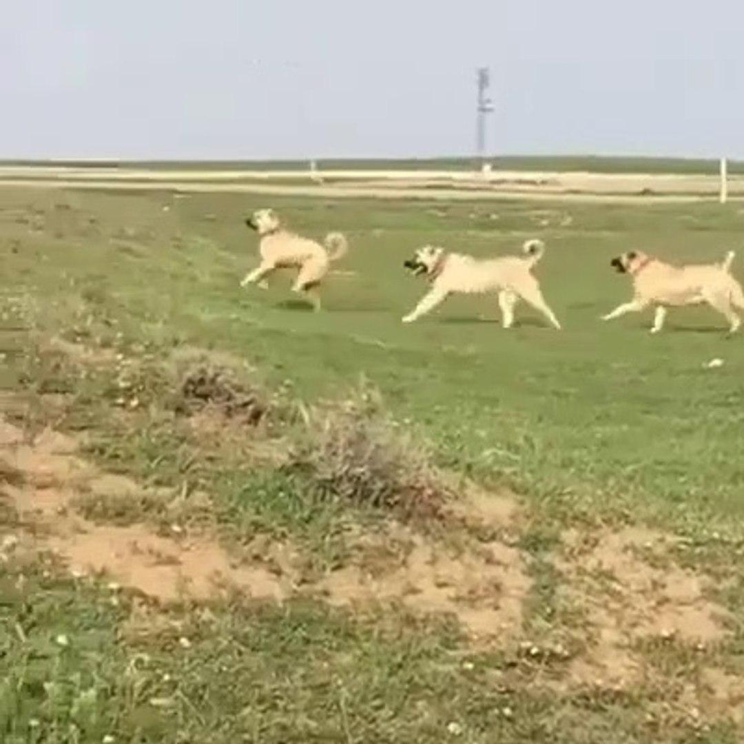 KANGAL KOPEKLERi BU DUZEN DEGiSECEK - KANGAL SHEPHERD DOGS