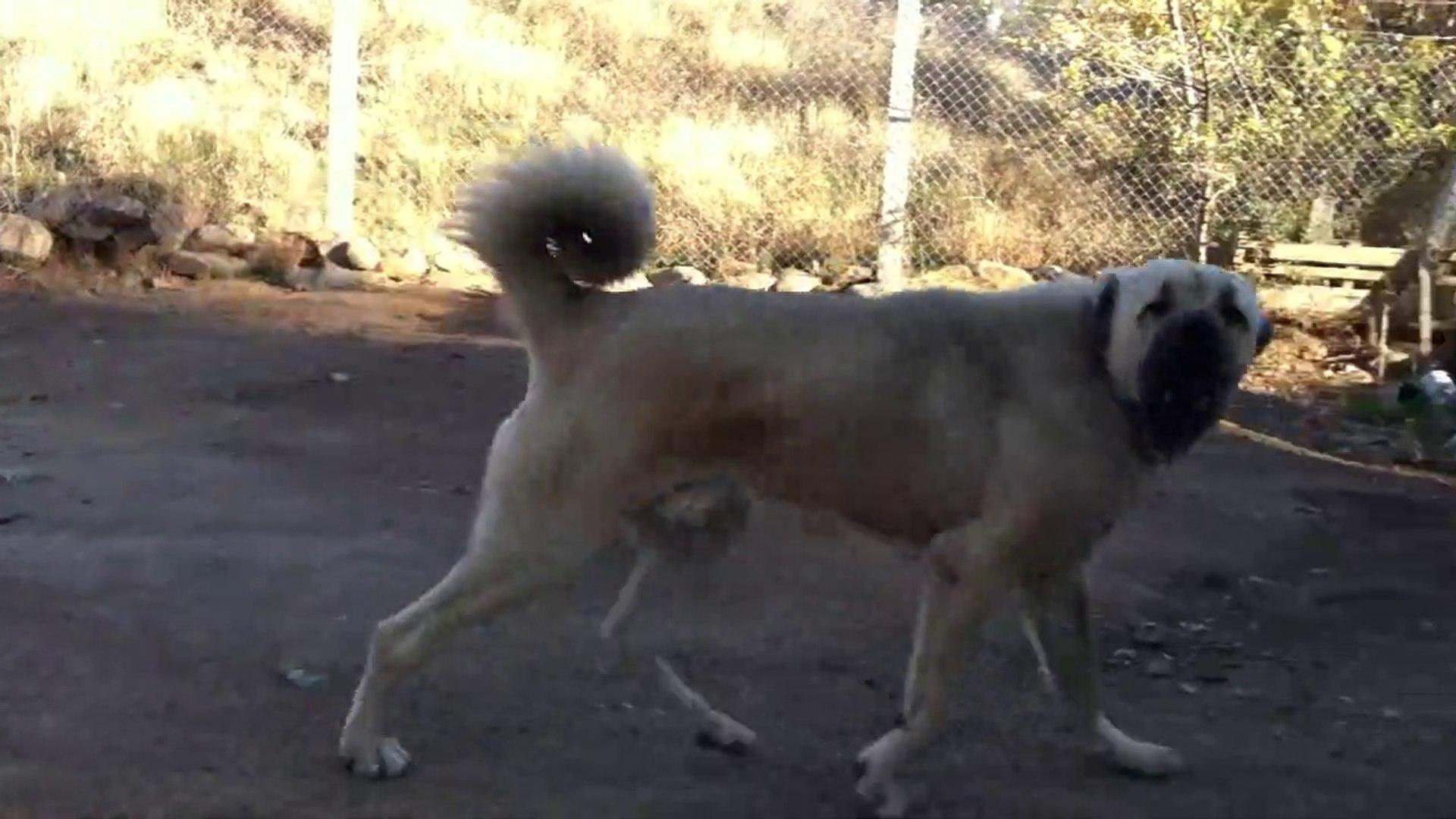 KOCA ASLAN VOLTA ATIYOR - GiANT ANATOLiAN SHEPHERD DOG