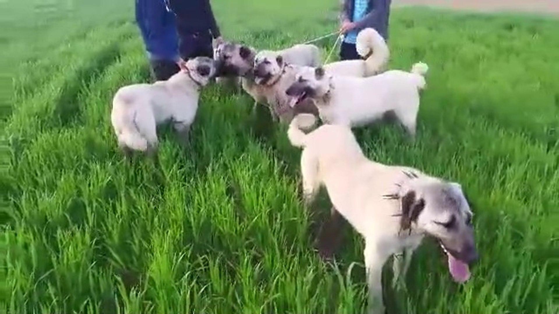 KANGAL KOPEKLERi TOPYEKUN BiRARADA - KANGAL SHEPHERD DOGS