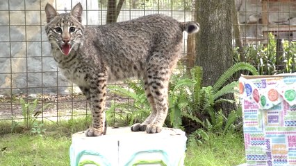 Top 10 Cutest Moments With Flint Bobcat