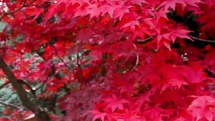 Autumn leaves & gardens at Mount Wilson & Tomah, Hydro Majestic pavilion, Nsw 14 May 2021