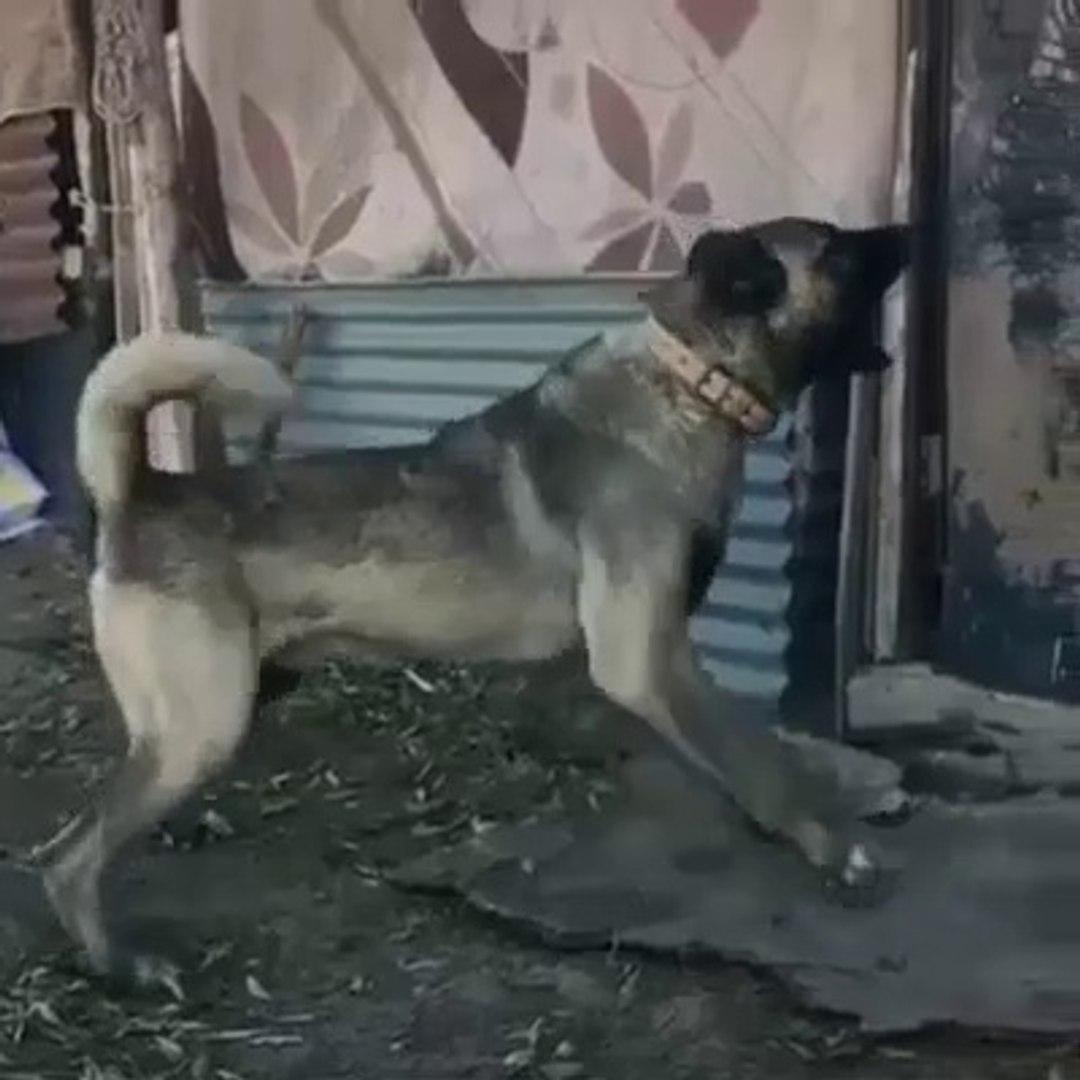 4*4 KARA KIRCIL KANGAL KOPEGi - KANGAL SHEPHERD DOG