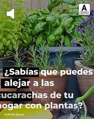 Plantas para alejar las cucarachas de casa.