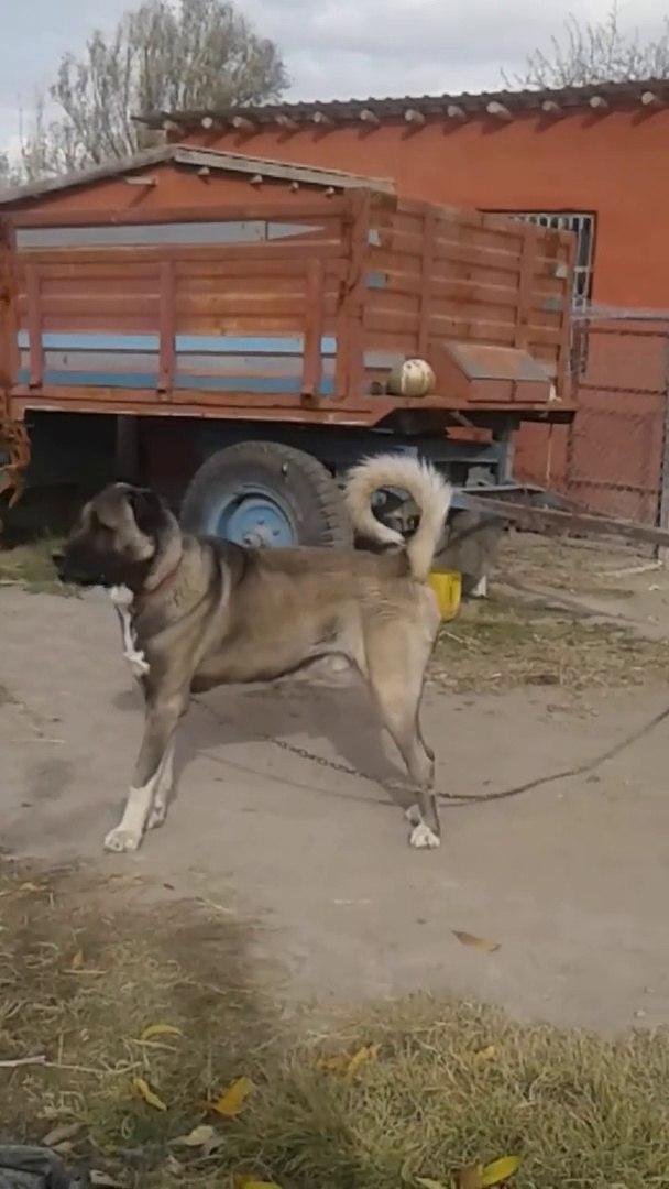 KARA CANDIR GERiSi HEYECANDIR DiYENLERE GELSiN - ANATOLiAN SHEPHERD DOG