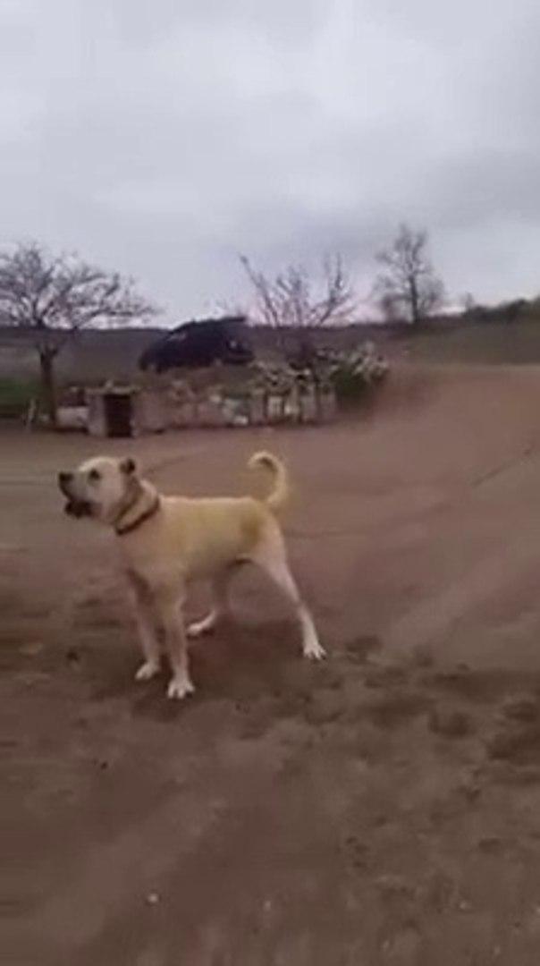 SESi YETER iNSANI KORKUTMAYA - ANGRY SHEPHERD DOG BARKiNG