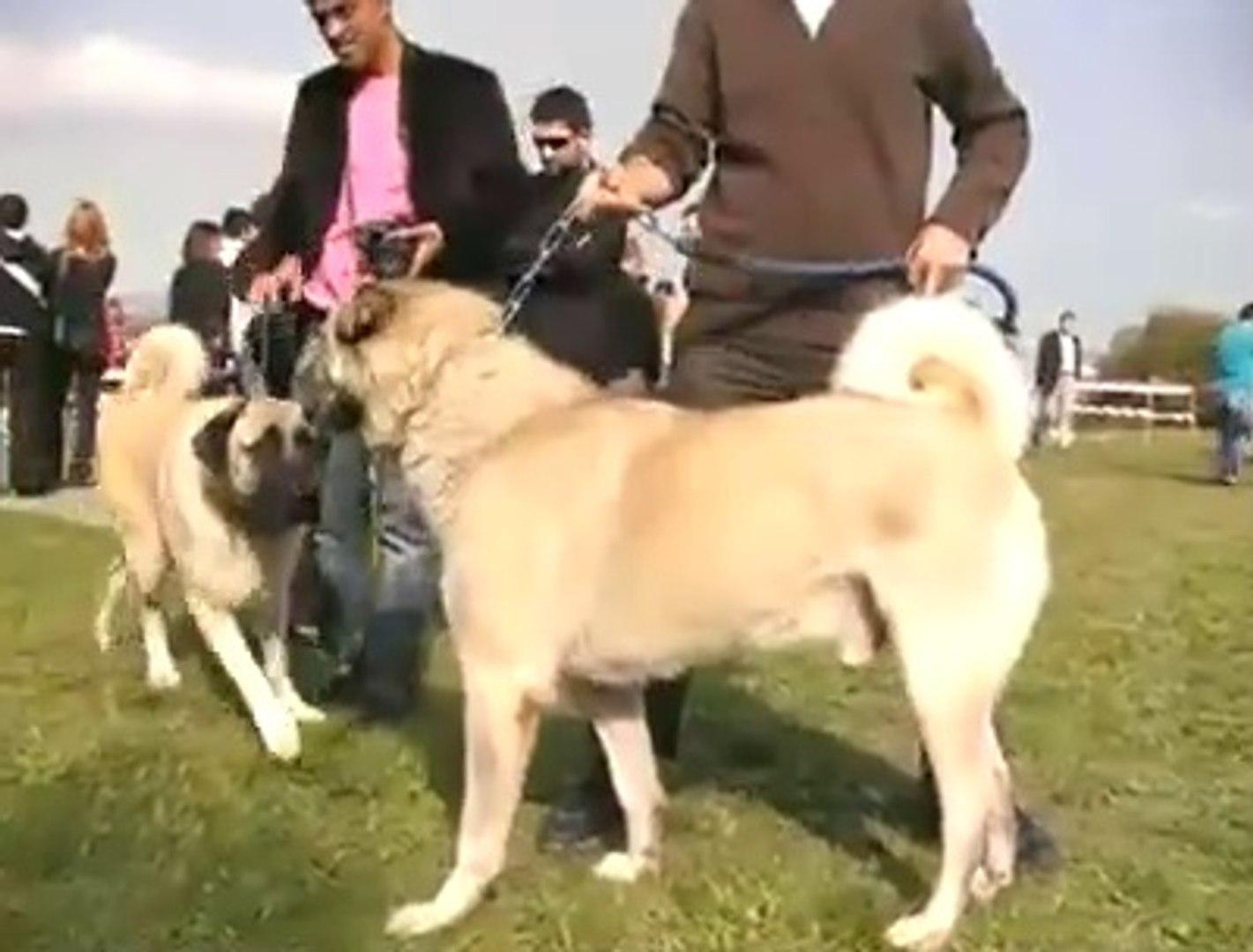 KOPEK YARISMASINDAKİ KANGALIN ASALETi - KANGAL SHEPHERD DOGS SHOW