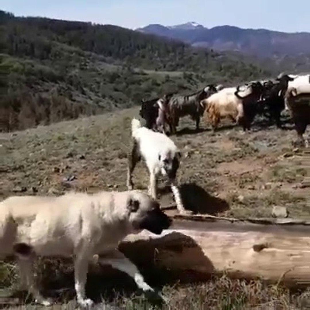 KANGAL KOPEKLERi SICAKTA DAHi GOREVDE - KANGAL SHEPHERD DOGS at MiSSiON