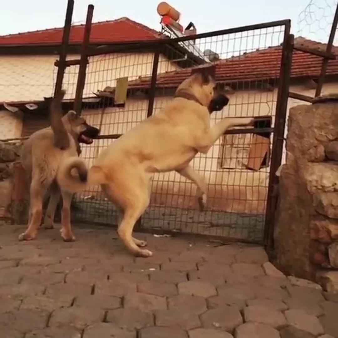 GENC COBAN KOPEKLERi HAZIR KITA BEKLiYOR - YOUNG SHEPHERD DOGS