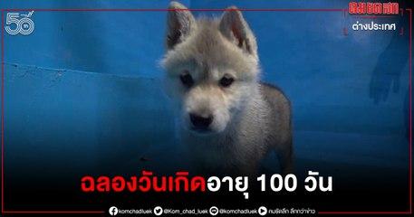 (คลิป) น่ารักมาก ลูกหมาป่าอาร์กติก ฉลองวันเกิดอายุครบ 100 วัน