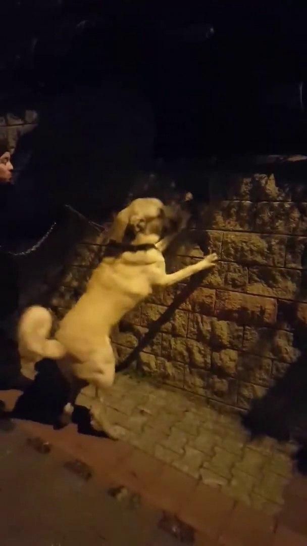 GECE YARGI DAGITAN BiR ARSLAN - SHEPHERD DOG with NiGHT WALK