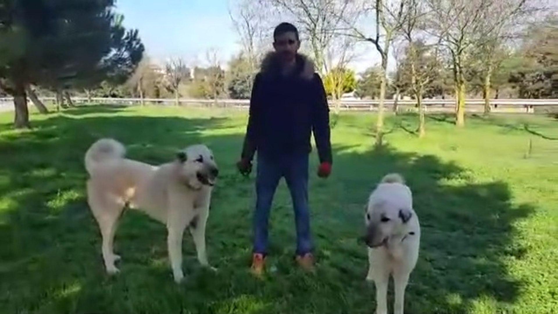 COK ASiL BiR DiS BiR ERKEK KANGAL KOPEGi - FAMELA and MALE KANGAL DOGS