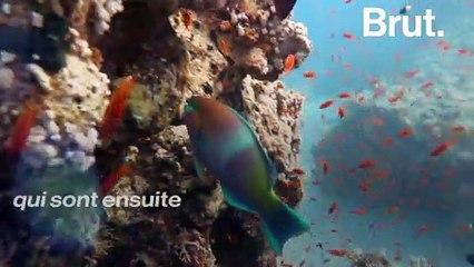 Le poisson-perroquet est l'un des poissons les plus colorés de l'océan