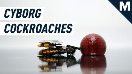 These cyborg cockroaches can be commanded to perform basic tasks